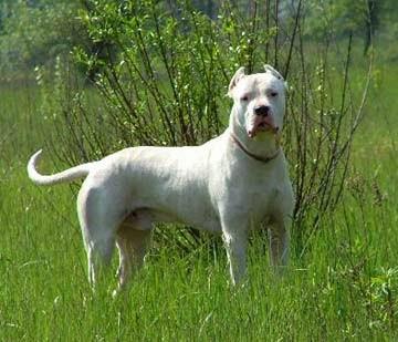 كلبة دوجو للبيع