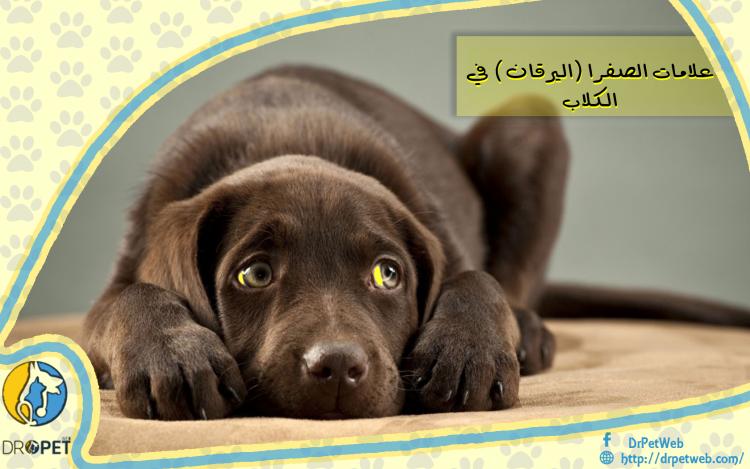 يرقان الكلاب(اصفرار الجلد).. الأسباب والأعراض والعلاج