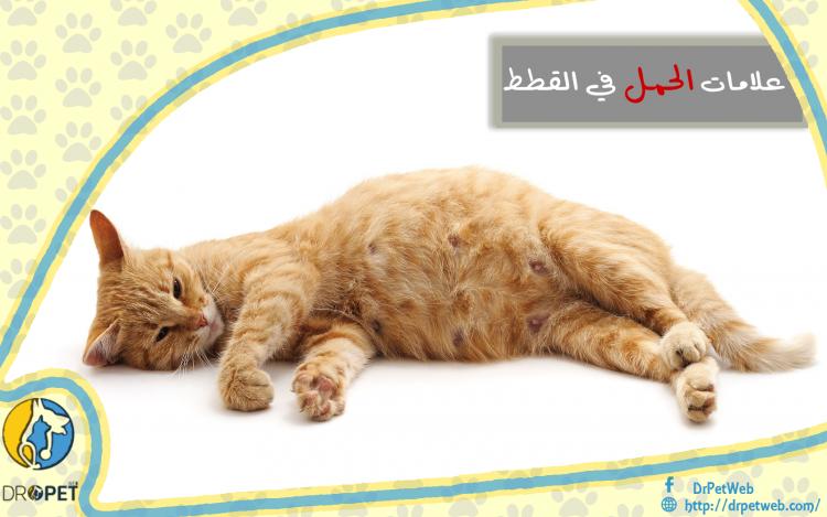 علامات الحمل لدى القطط والتجهيز للولادة