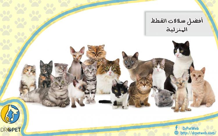 أفضل أنواع القطط المنزلية ومميزاتها