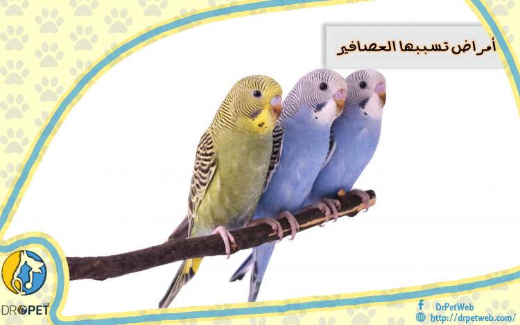 ٣ امراض تسببها طيور الزينة / العصافير