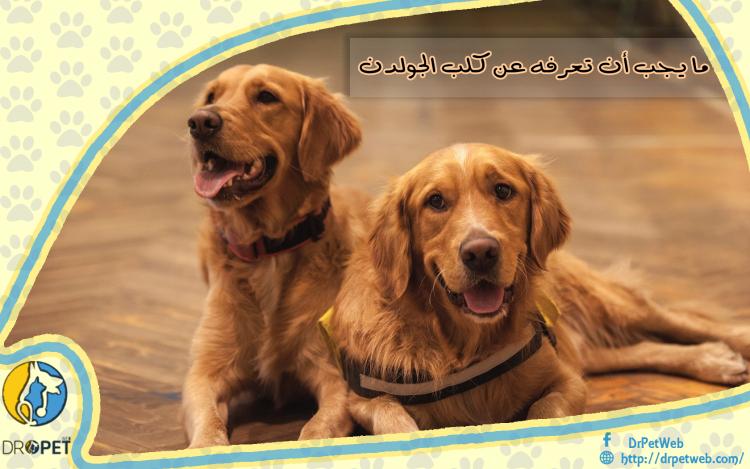 كل المعلومات عن الكلب الجولدن